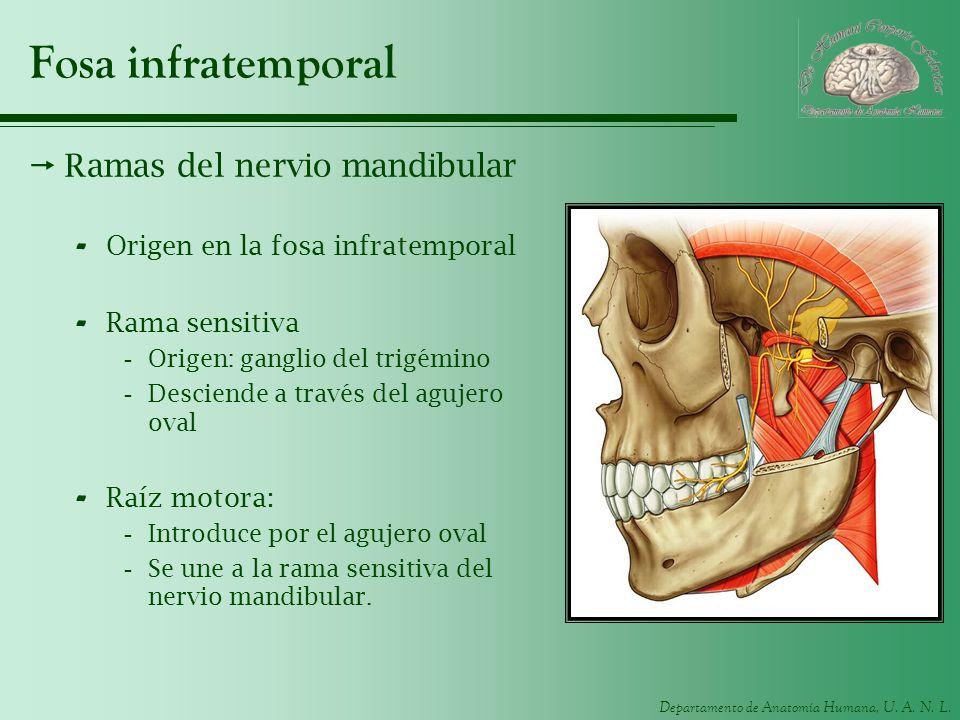 Fosa infratemporal Ramas del nervio mandibular