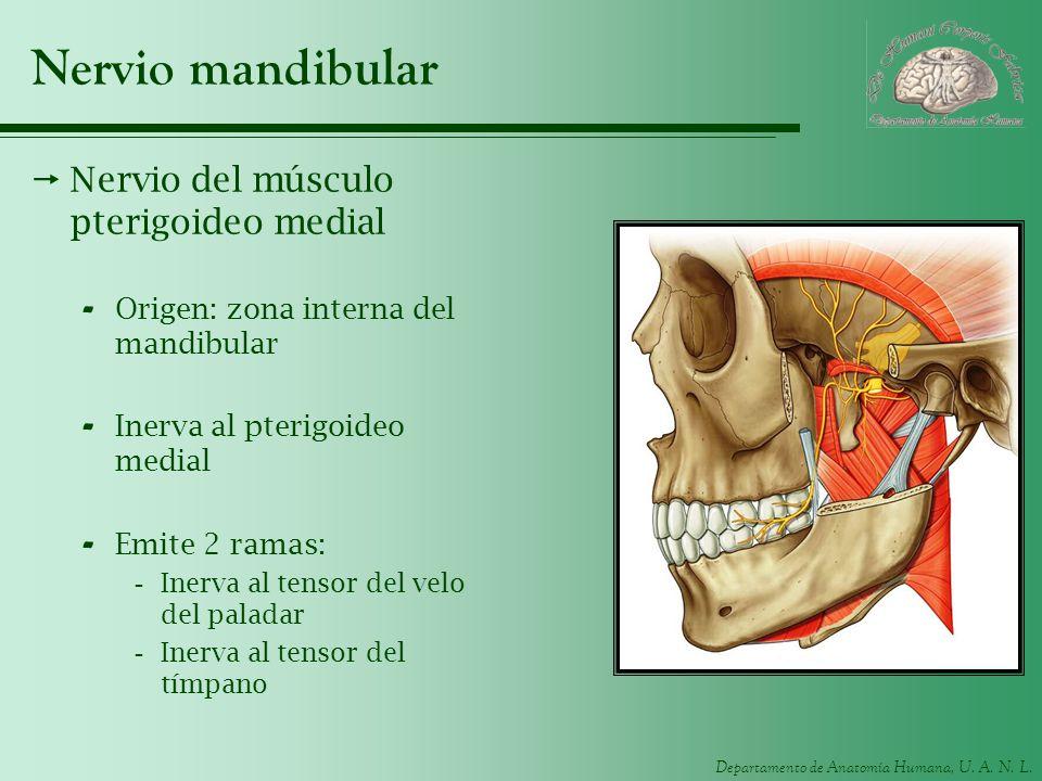 Nervio mandibular Nervio del músculo pterigoideo medial