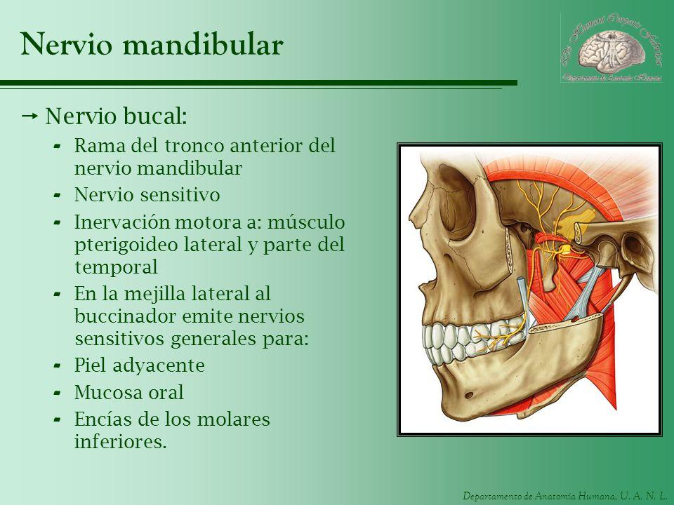 Nervio mandibular Nervio bucal: