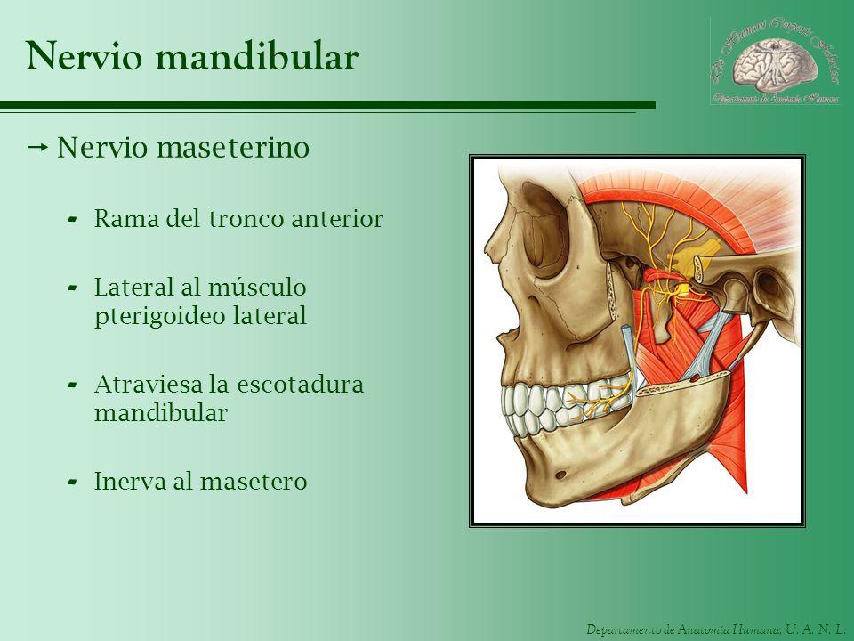 Nervio mandibular Nervio maseterino Rama del tronco anterior