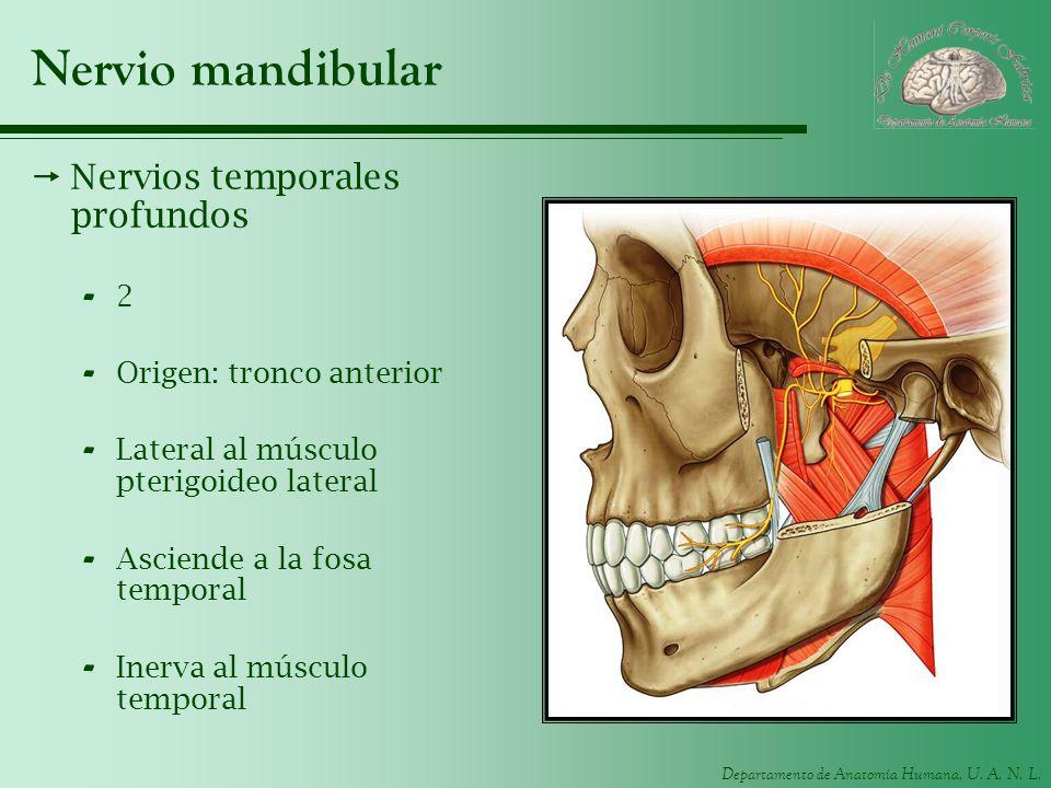 Nervio mandibular Nervios temporales profundos 2