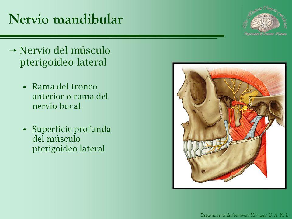 Nervio mandibular Nervio del músculo pterigoideo lateral