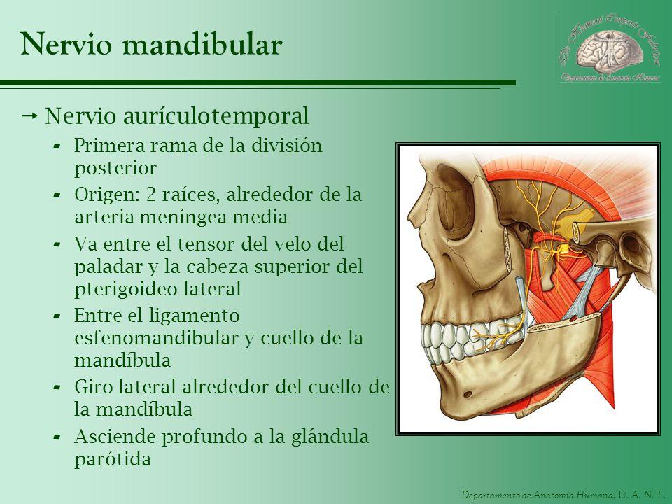 Nervio mandibular Nervio aurículotemporal