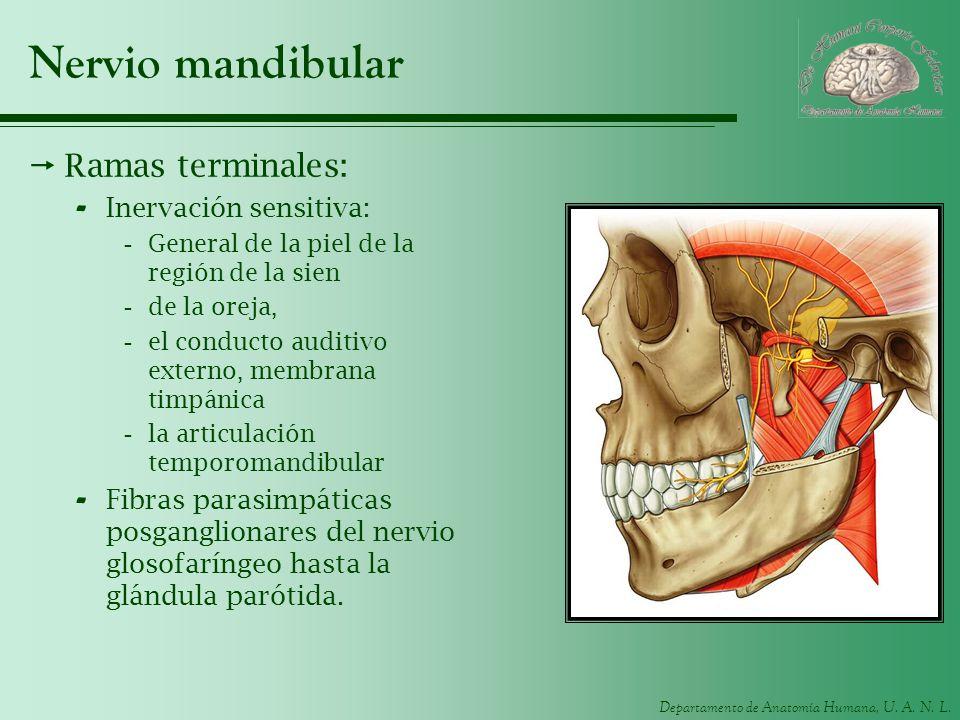 Nervio mandibular Ramas terminales: Inervación sensitiva:
