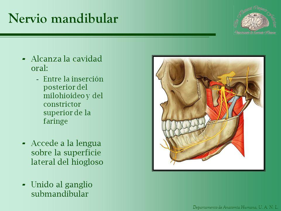 Nervio mandibular Alcanza la cavidad oral: