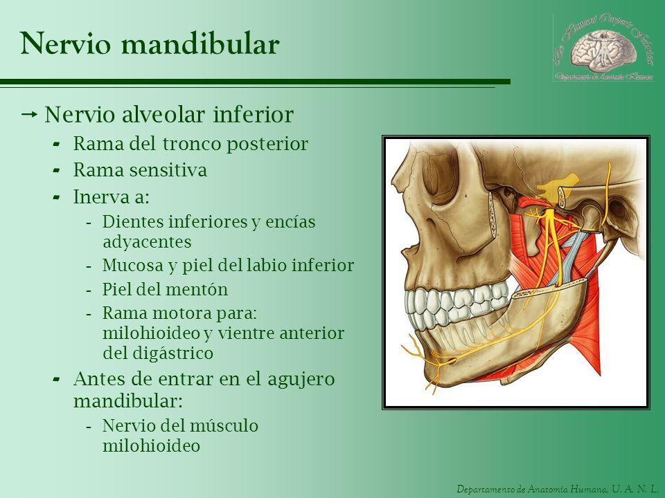 Nervio mandibular Nervio alveolar inferior Rama del tronco posterior