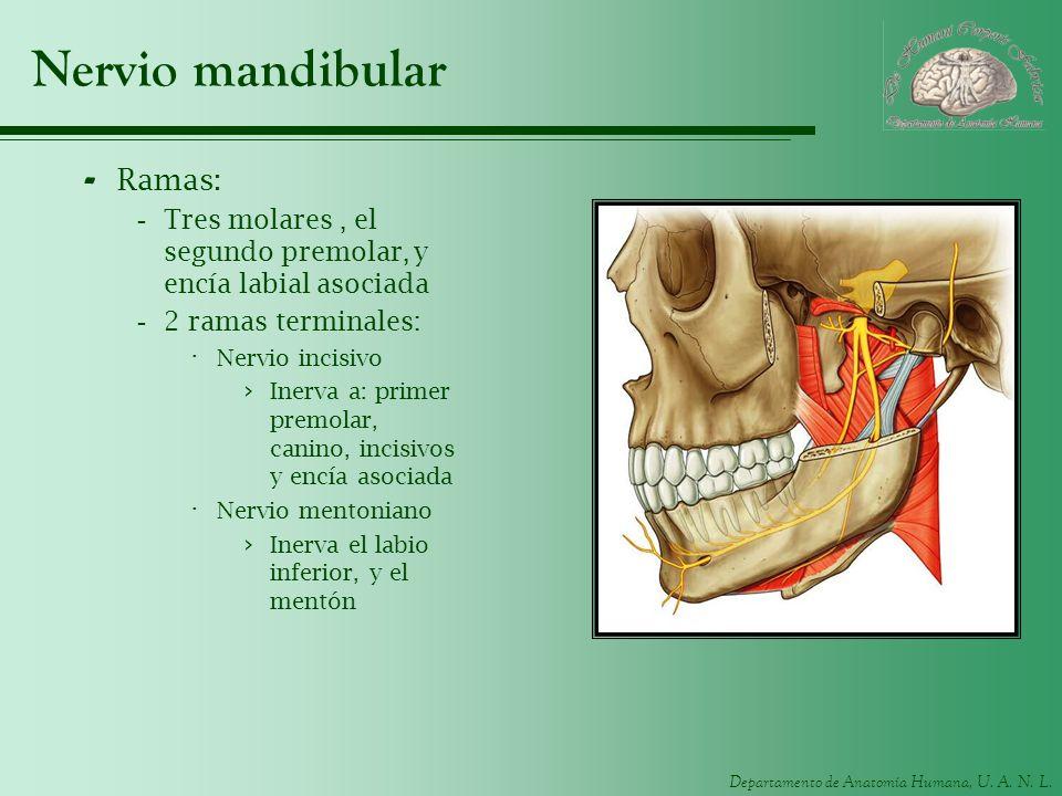 Nervio mandibular Ramas: