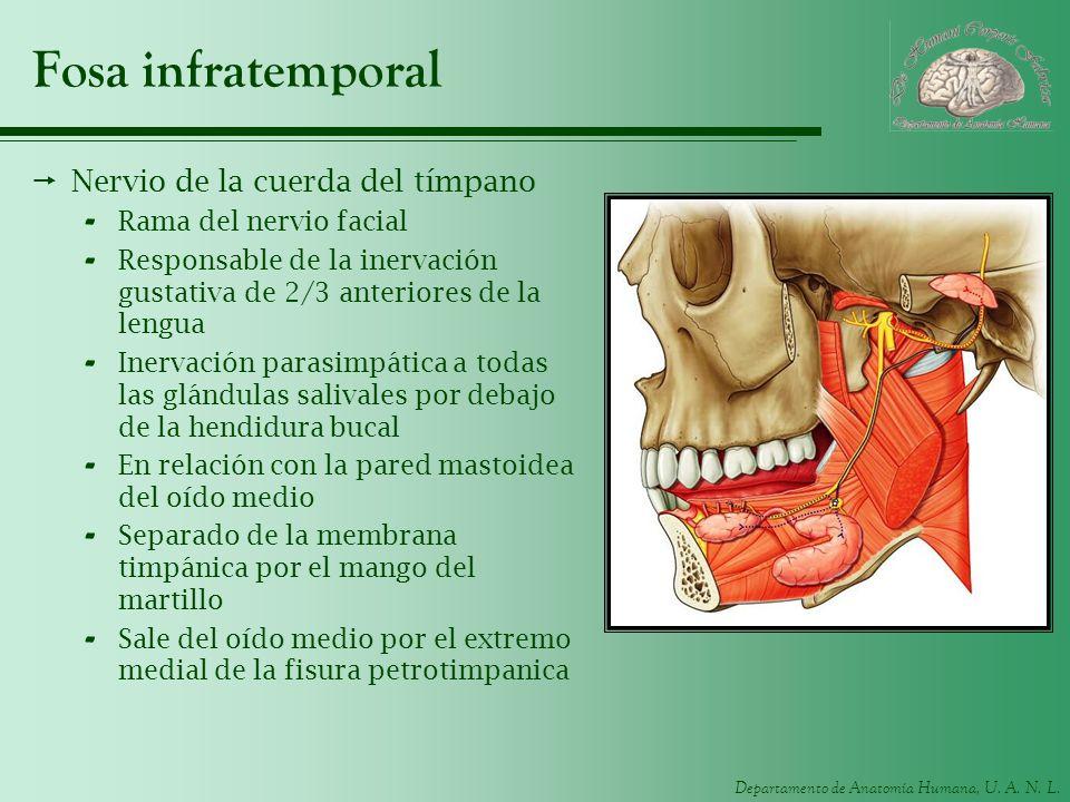Fosa infratemporal Nervio de la cuerda del tímpano