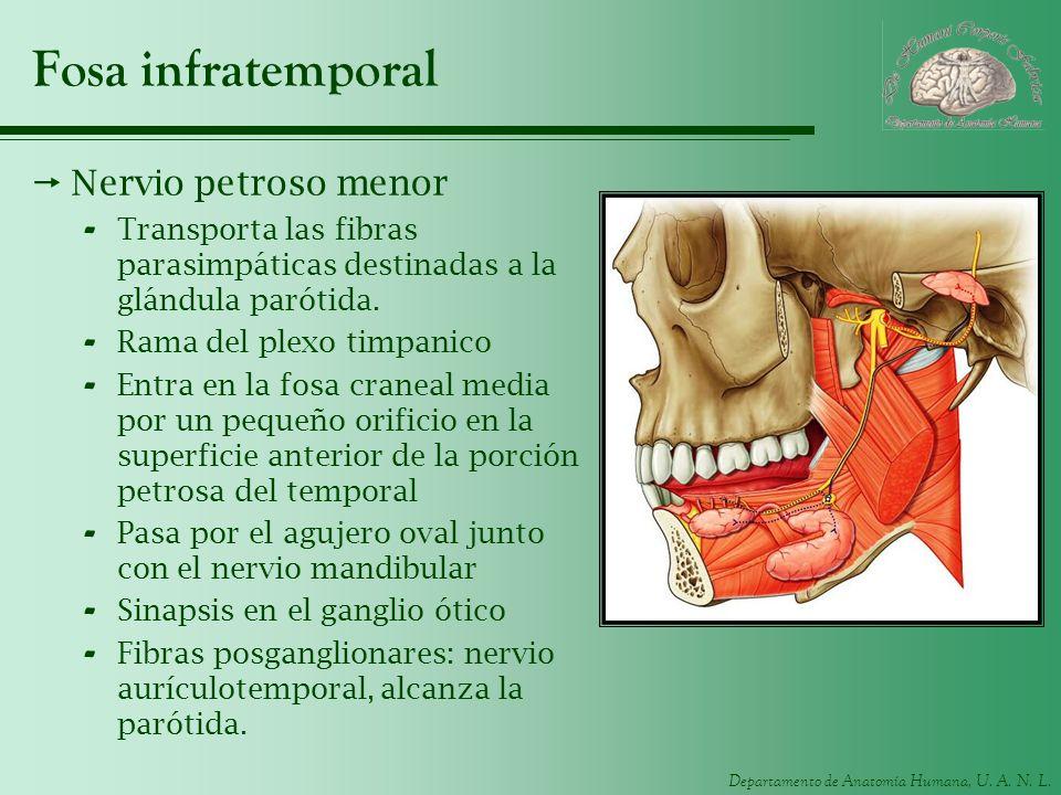Fosa infratemporal Nervio petroso menor