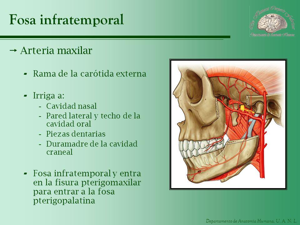Fosa infratemporal Arteria maxilar Rama de la carótida externa