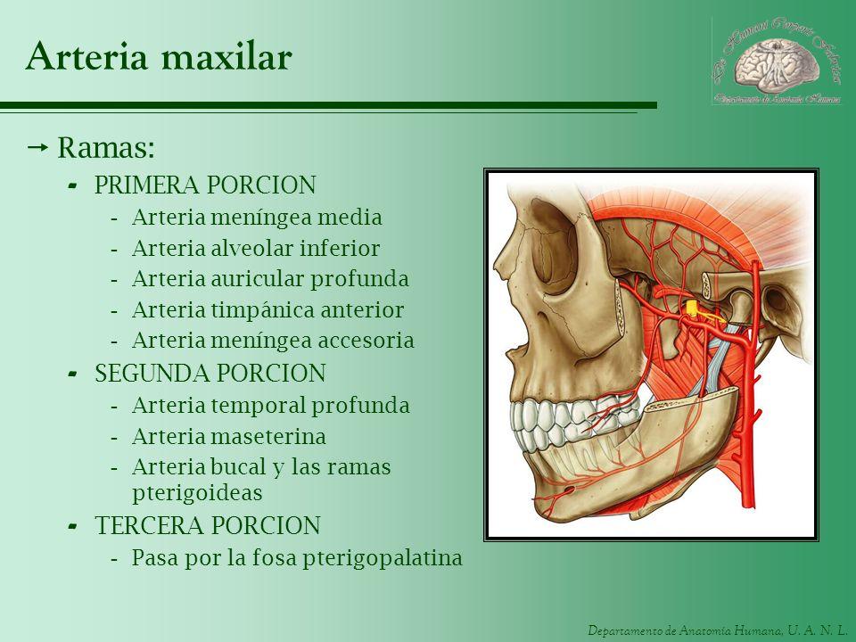 Arteria maxilar Ramas: PRIMERA PORCION SEGUNDA PORCION TERCERA PORCION