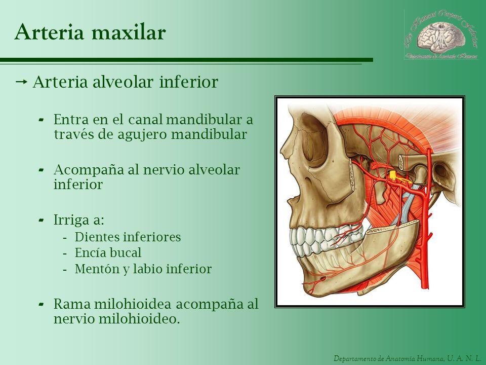Arteria maxilar Arteria alveolar inferior