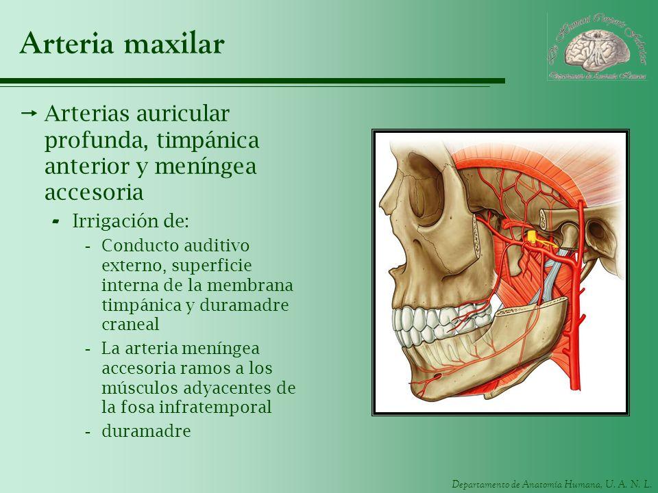 Arteria maxilar Arterias auricular profunda, timpánica anterior y meníngea accesoria. Irrigación de: