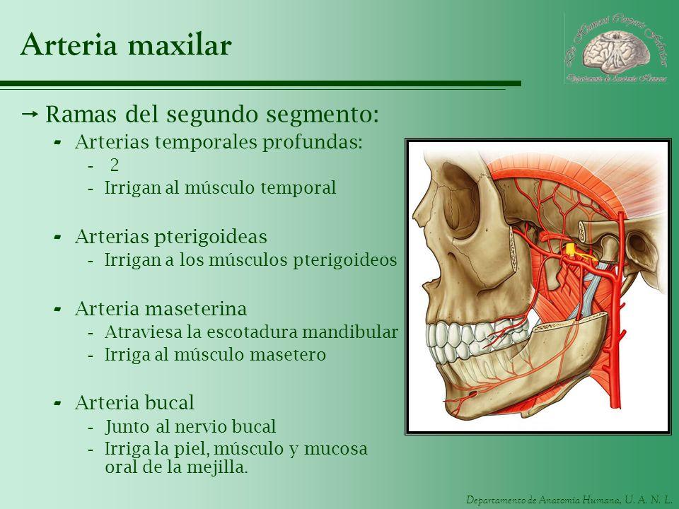 Arteria maxilar Ramas del segundo segmento: