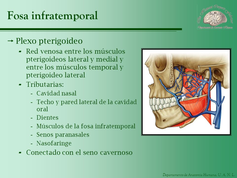 Fosa infratemporal Plexo pterigoideo