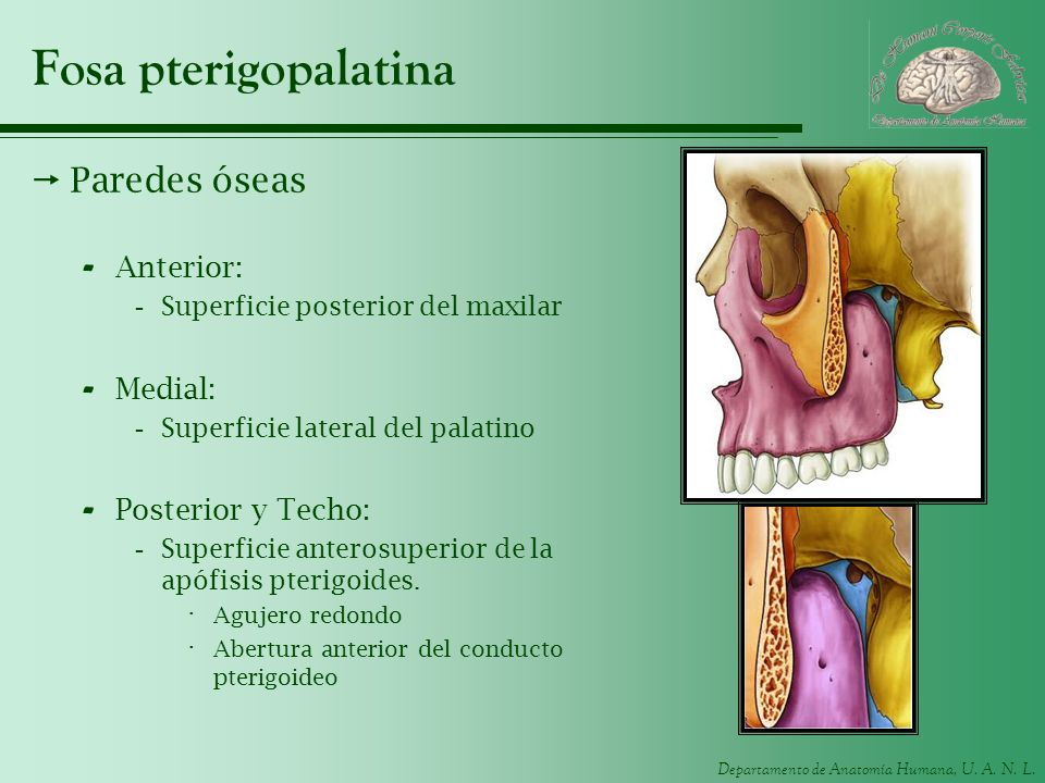 Fosa pterigopalatina Paredes óseas Anterior: Medial: