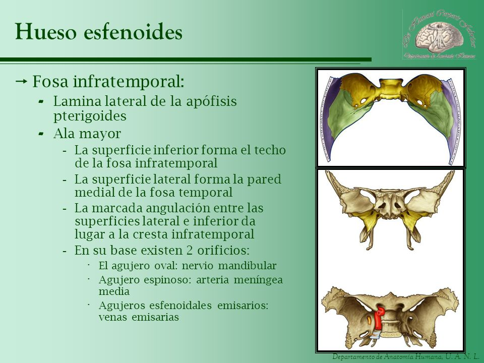 Hueso esfenoides Fosa infratemporal: