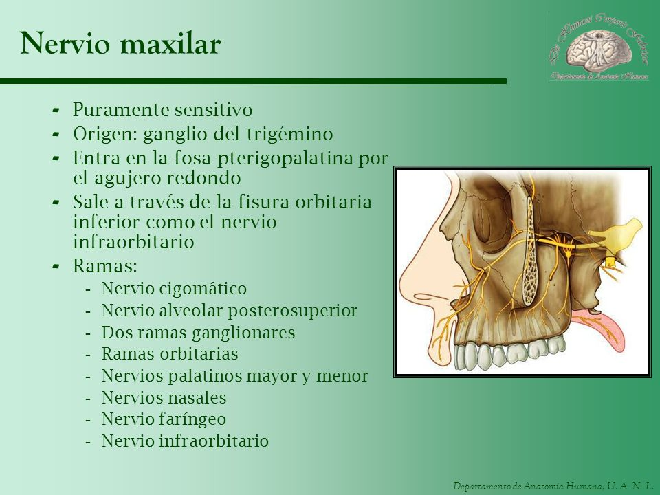 Nervio maxilar Puramente sensitivo Origen: ganglio del trigémino