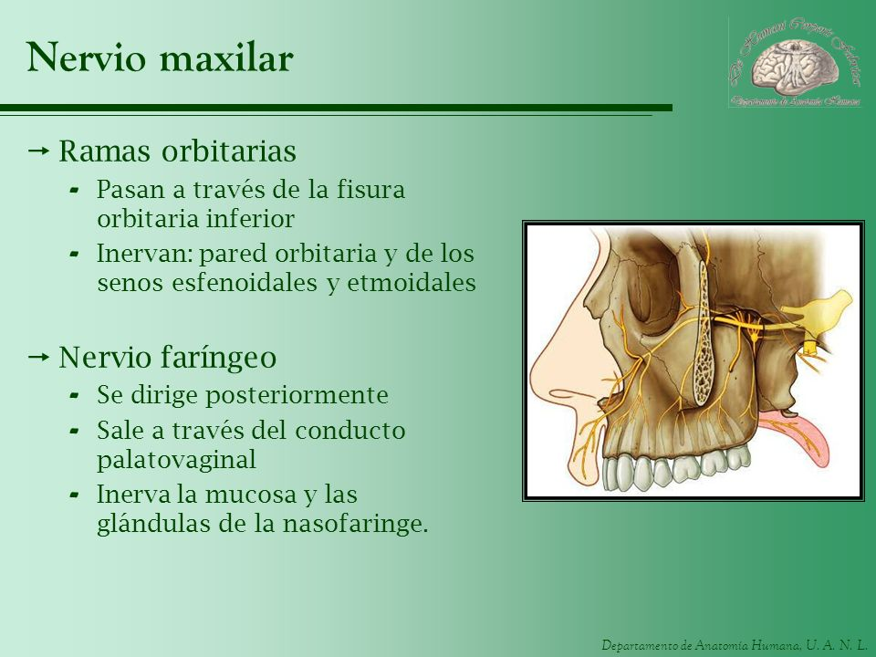 Nervio maxilar Ramas orbitarias Nervio faríngeo