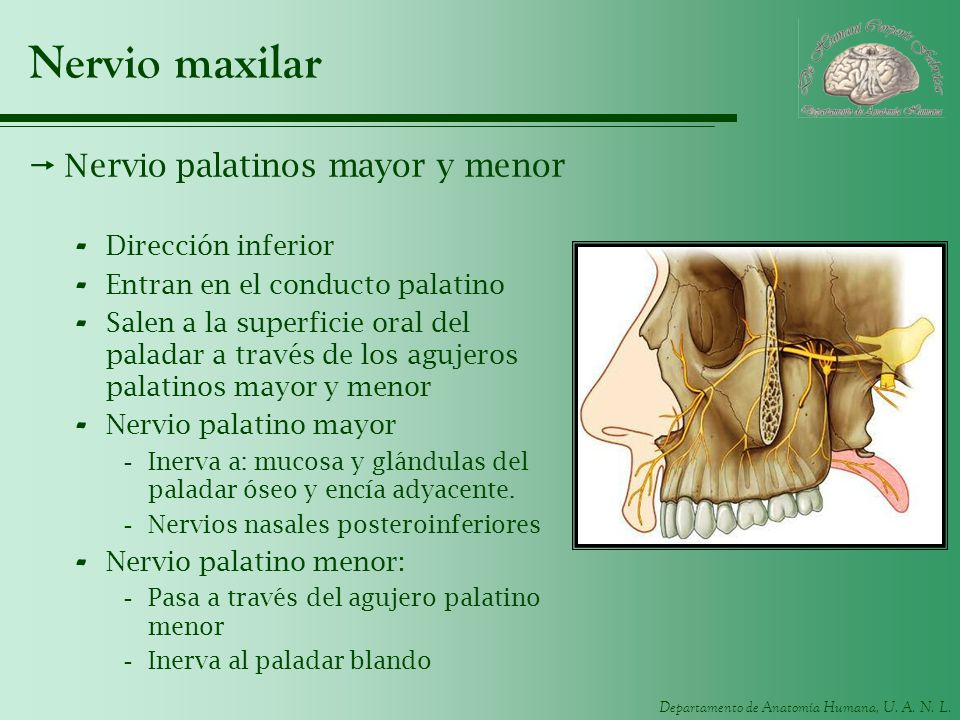 Nervio maxilar Nervio palatinos mayor y menor Dirección inferior