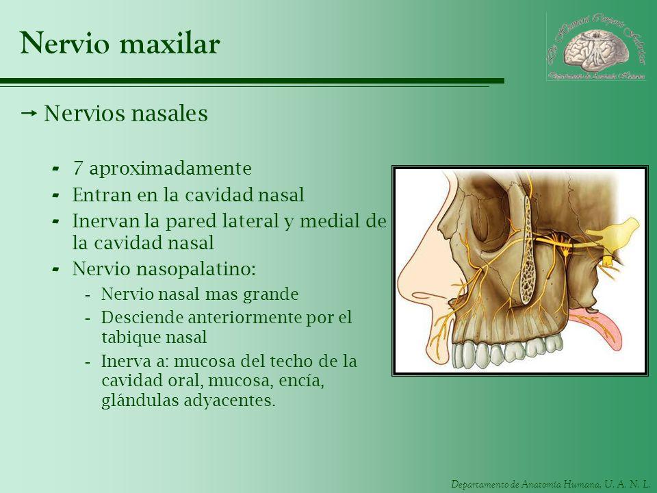Nervio maxilar Nervios nasales 7 aproximadamente