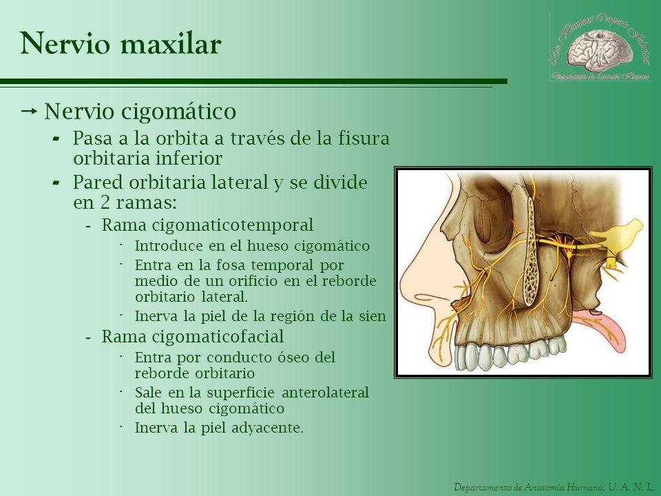 Nervio maxilar Nervio cigomático