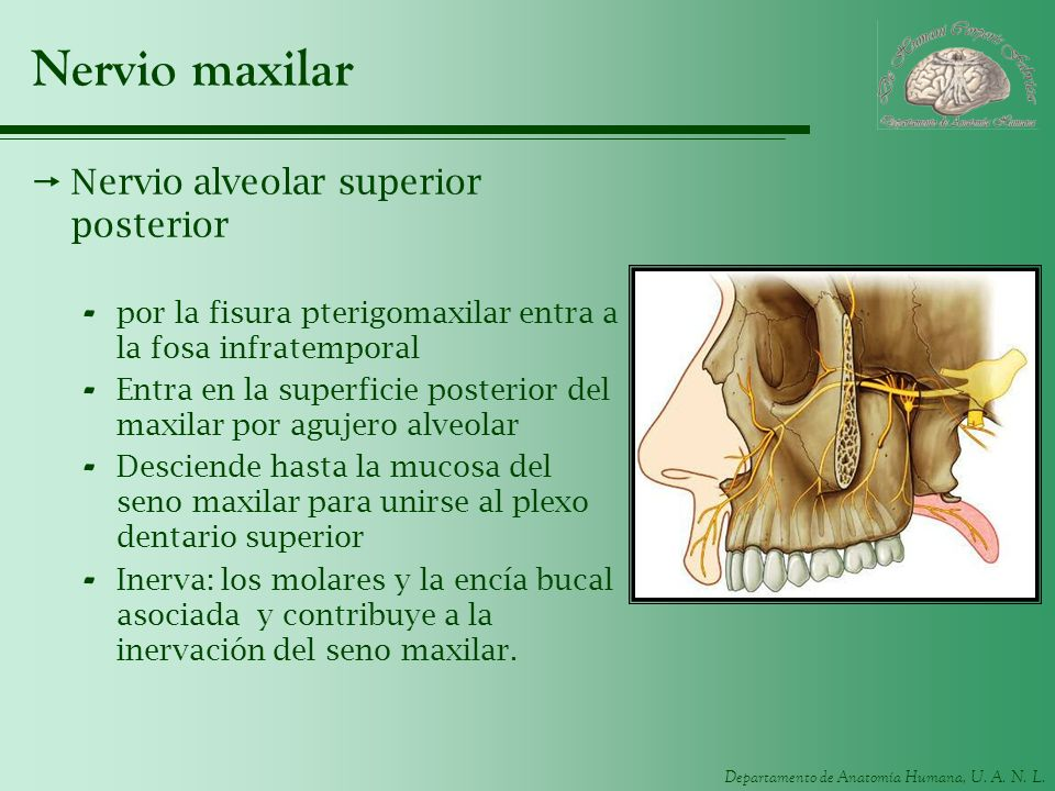 Nervio maxilar Nervio alveolar superior posterior