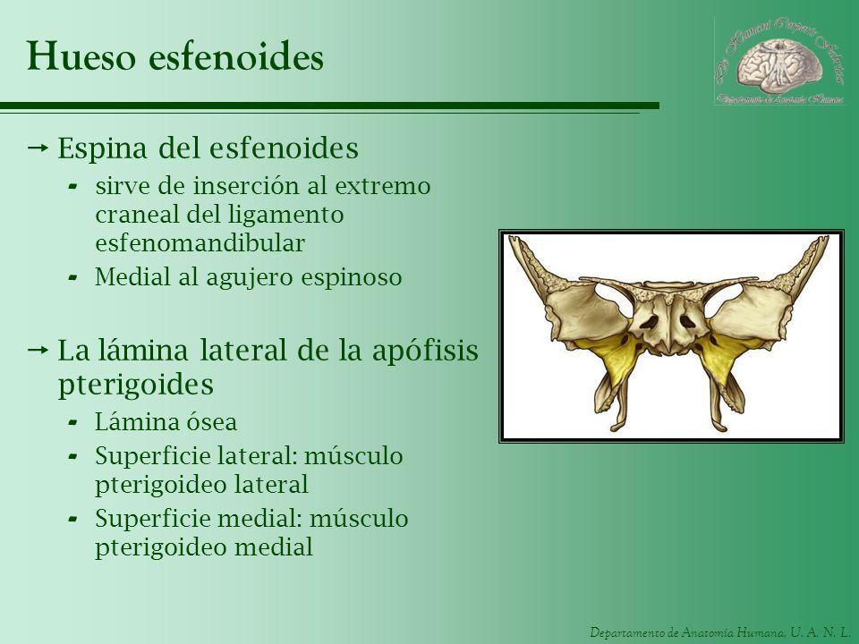 Hueso esfenoides Espina del esfenoides