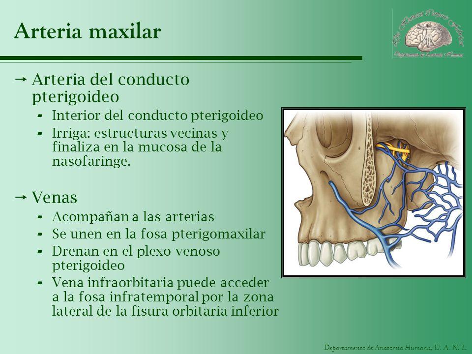 Arteria maxilar Arteria del conducto pterigoideo Venas