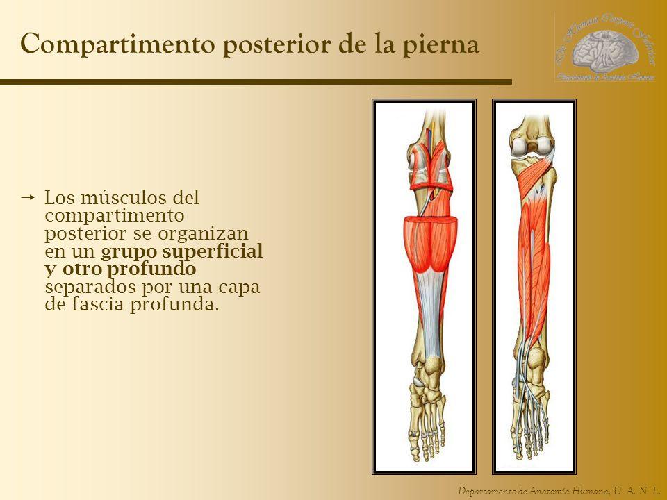 Compartimento posterior de la pierna