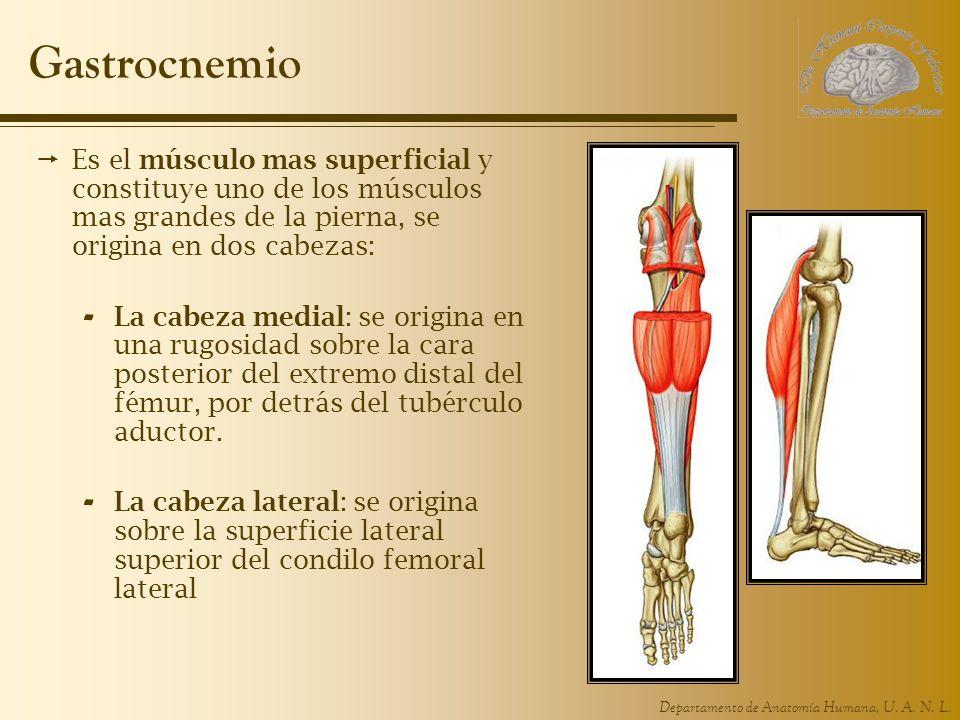 Gastrocnemio Es el músculo mas superficial y constituye uno de los músculos mas grandes de la pierna, se origina en dos cabezas: