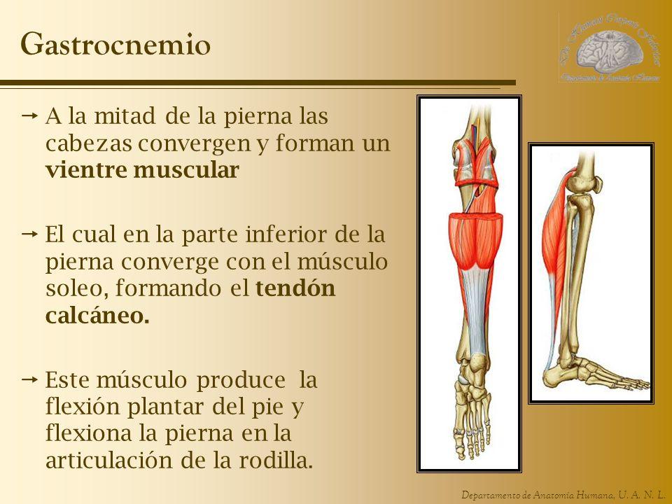 Gastrocnemio A la mitad de la pierna las cabezas convergen y forman un vientre muscular.