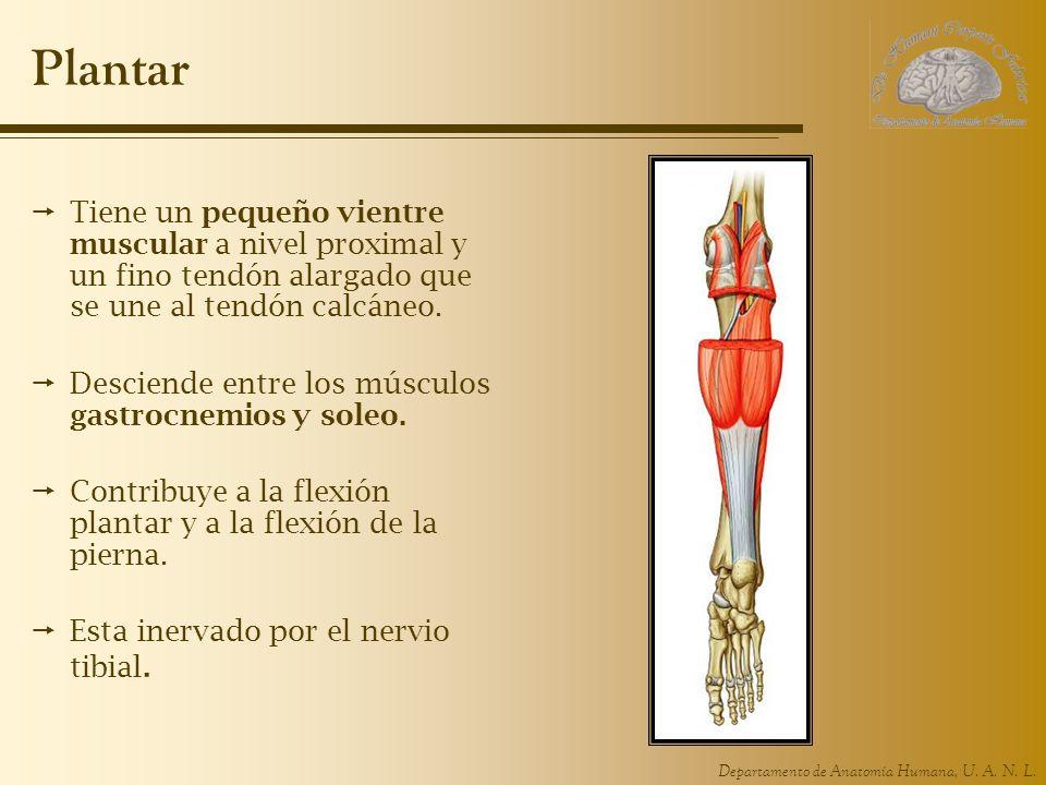 Plantar Tiene un pequeño vientre muscular a nivel proximal y un fino tendón alargado que se une al tendón calcáneo.