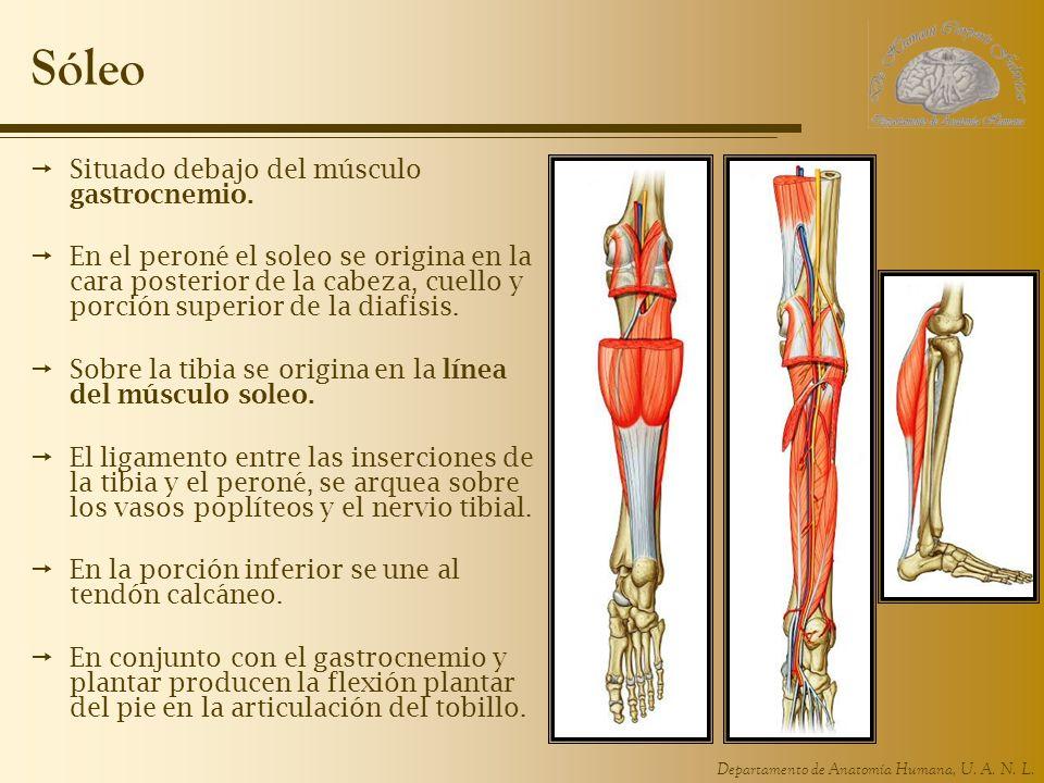 Sóleo Situado debajo del músculo gastrocnemio.
