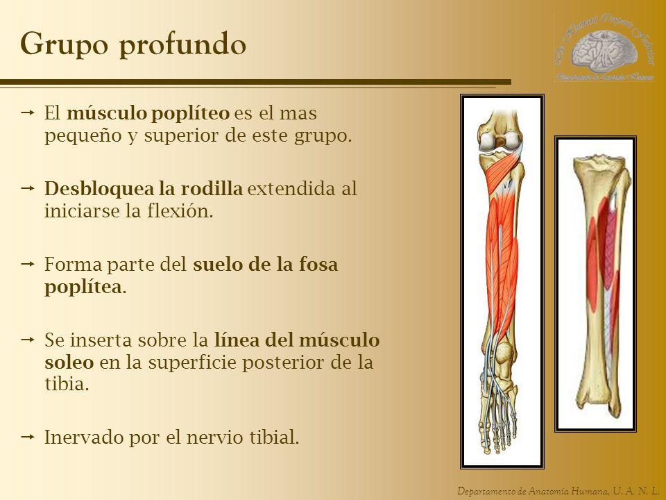 Grupo profundo El músculo poplíteo es el mas pequeño y superior de este grupo. Desbloquea la rodilla extendida al iniciarse la flexión.