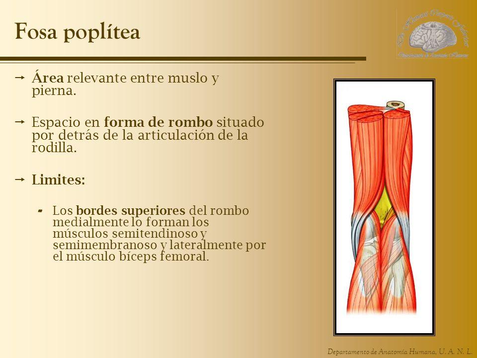 Lujoso Anatomía Fosa Poplítea Colección de Imágenes - Anatomía de ...