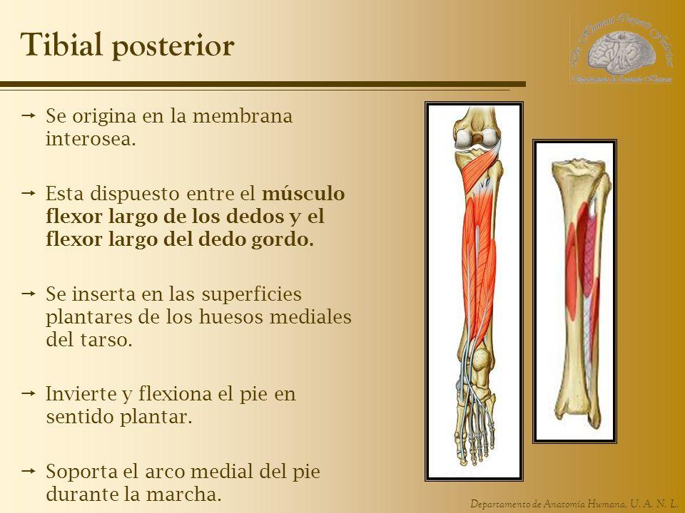 Tibial posterior Se origina en la membrana interosea.