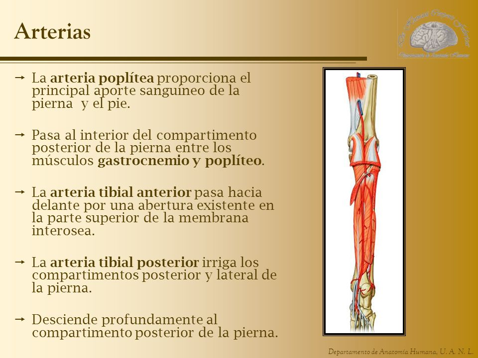Arterias La arteria poplítea proporciona el principal aporte sanguíneo de la pierna y el pie.