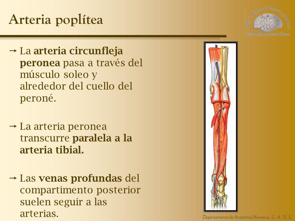 Arteria poplítea La arteria circunfleja peronea pasa a través del músculo soleo y alrededor del cuello del peroné.