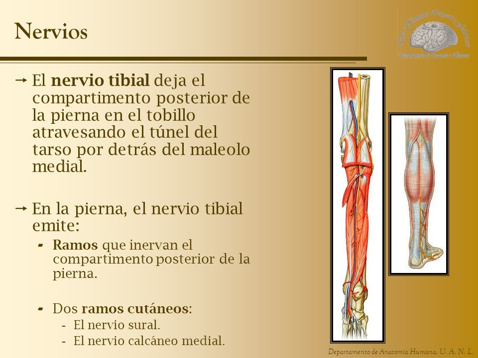 Nervios El nervio tibial deja el compartimento posterior de la pierna en el tobillo atravesando el túnel del tarso por detrás del maleolo medial.