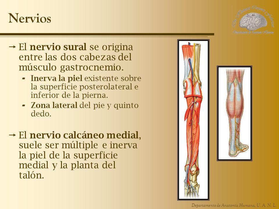 Nervios El nervio sural se origina entre las dos cabezas del músculo gastrocnemio.