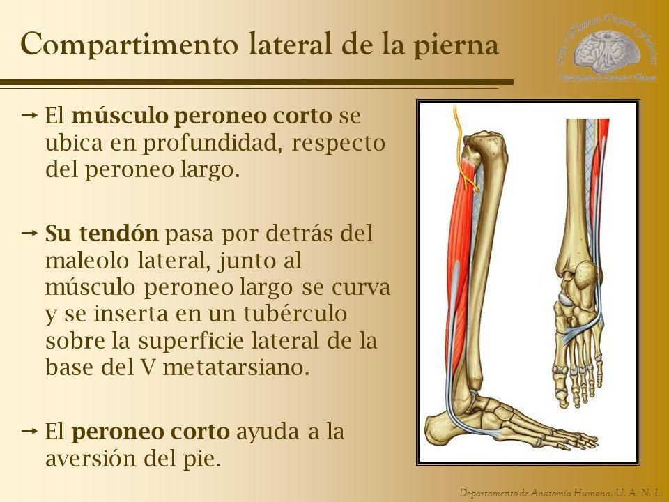Compartimento lateral de la pierna
