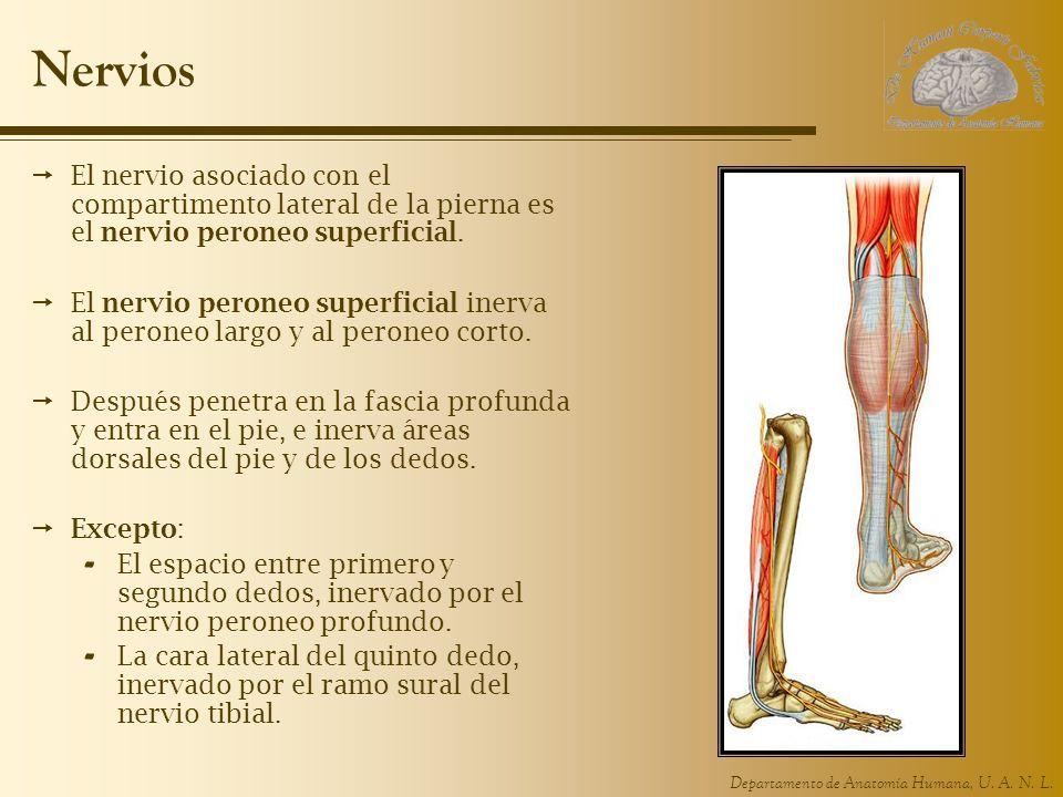 Nervios El nervio asociado con el compartimento lateral de la pierna es el nervio peroneo superficial.