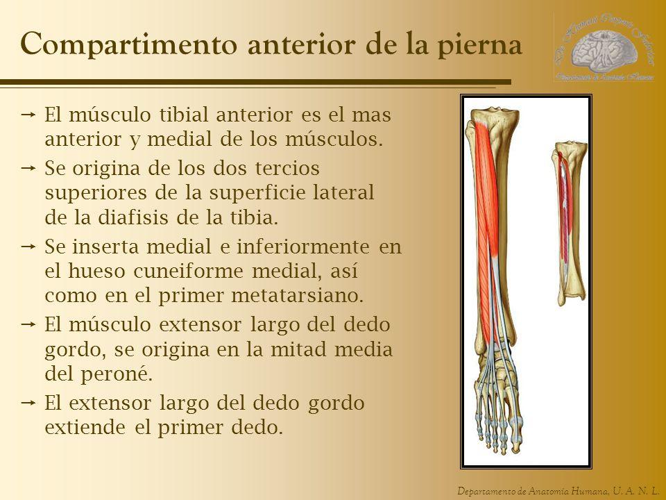 Compartimento anterior de la pierna