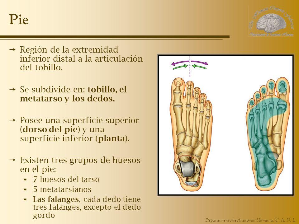 Pie Región de la extremidad inferior distal a la articulación del tobillo. Se subdivide en: tobillo, el metatarso y los dedos.