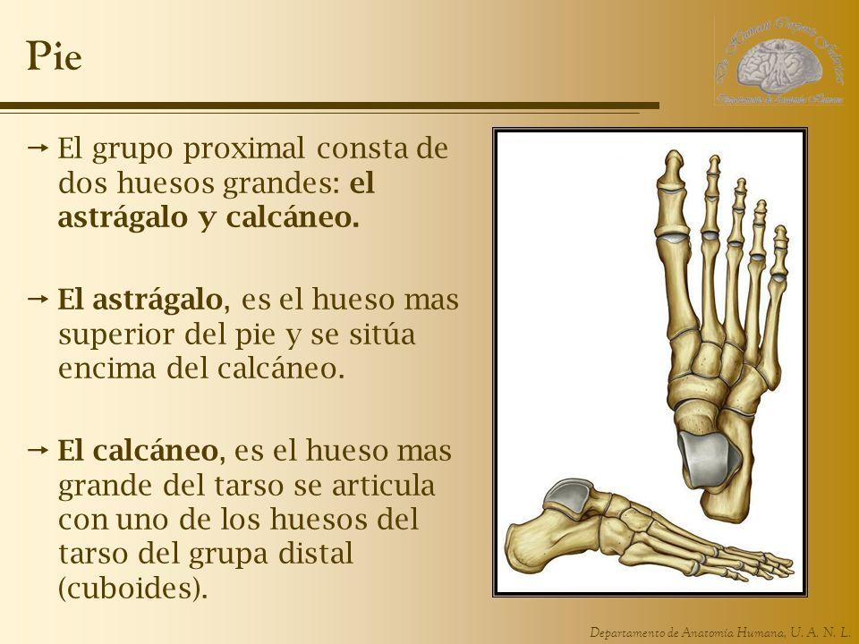 Pie El grupo proximal consta de dos huesos grandes: el astrágalo y calcáneo.
