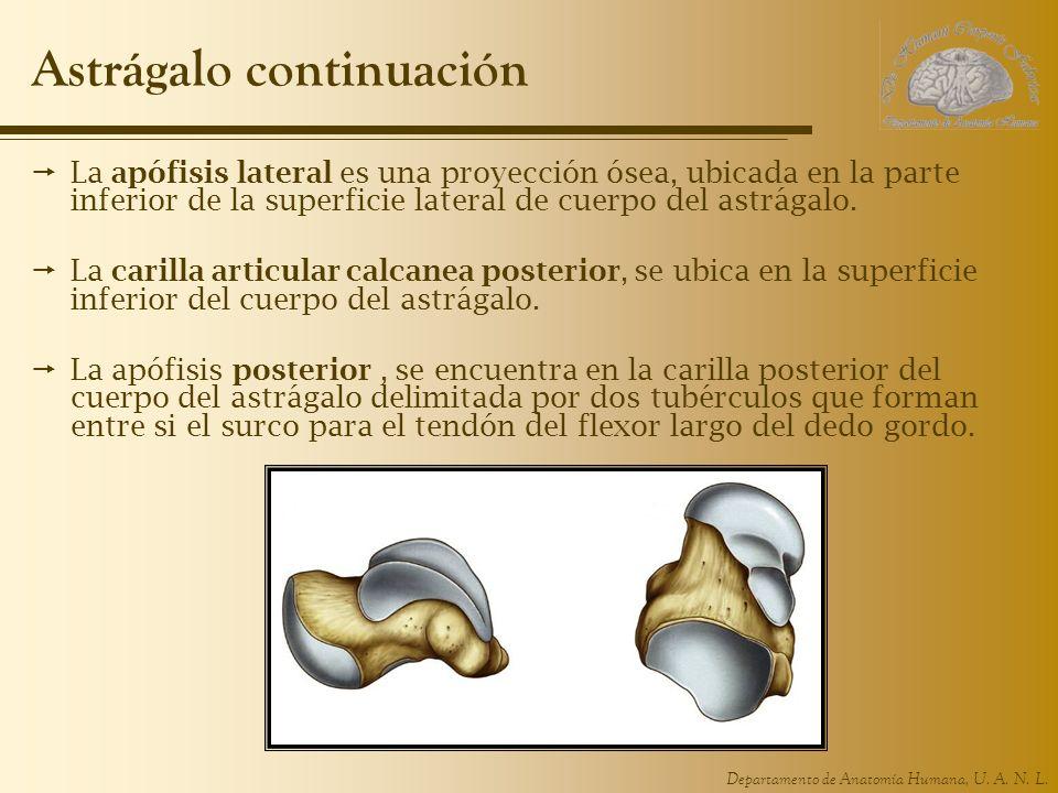 Excepcional Articulación Del Dedo Gordo Anatomía Cresta - Anatomía ...
