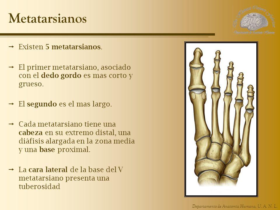 Metatarsianos Existen 5 metatarsianos.