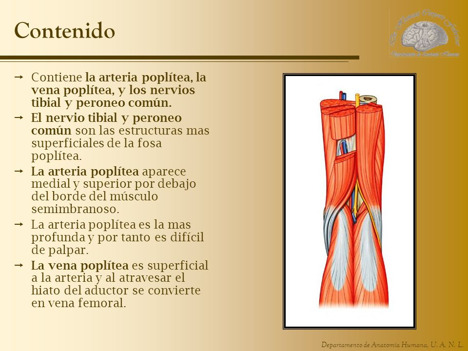 Contenido Contiene la arteria poplítea, la vena poplítea, y los nervios tibial y peroneo común.