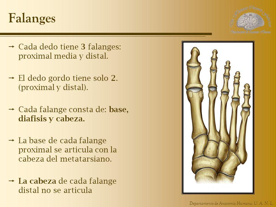 Falanges Cada dedo tiene 3 falanges: proximal media y distal.